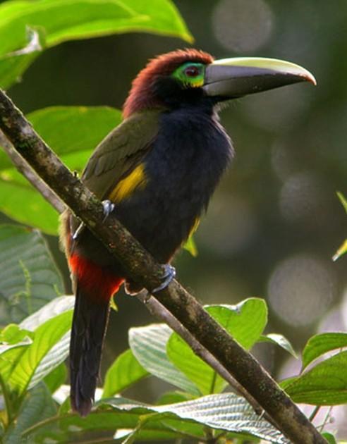 野长颈鹤鸟图片